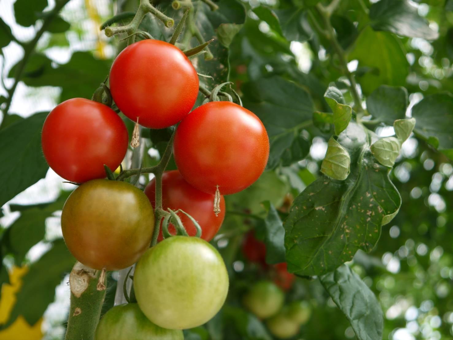 トマト農家さんのお手伝い!