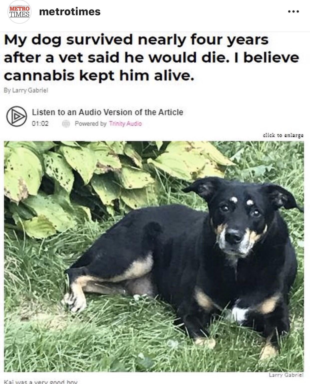 犬の癌とカンナビス