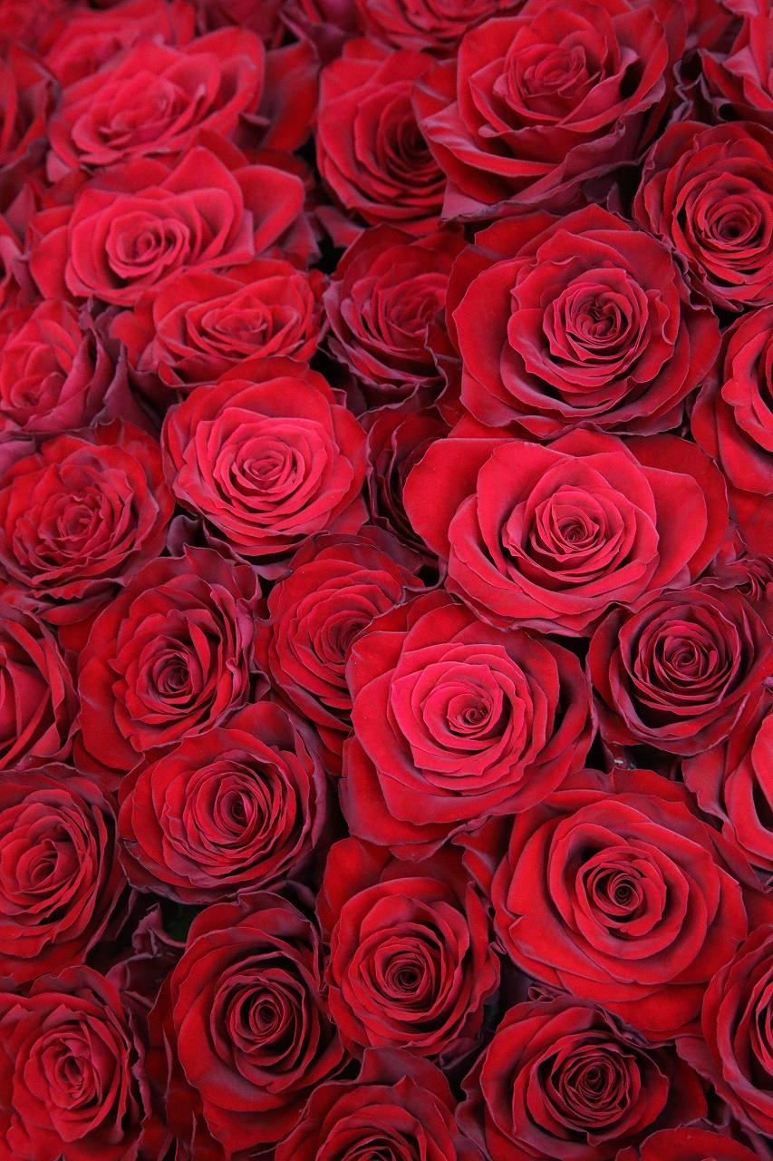 100バラ開花調整中