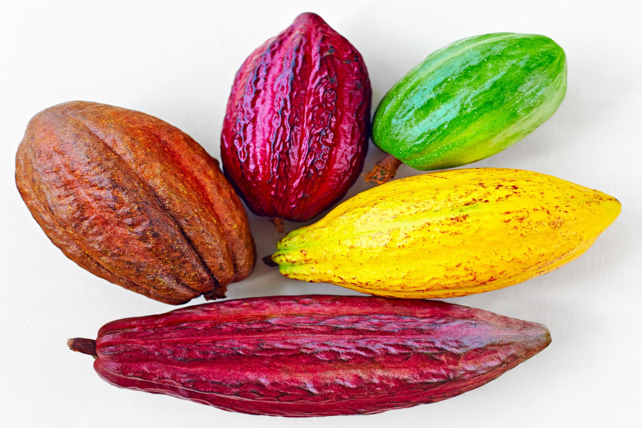 カカオの品種とは?品種でチョコレートの味は変化する?その違いは?