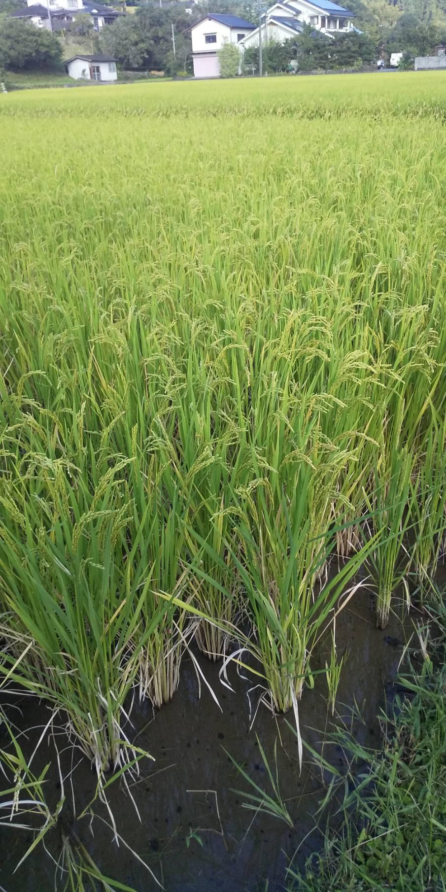 無農薬のヒノヒカリすくすく育ってます。10月から収穫予定です!