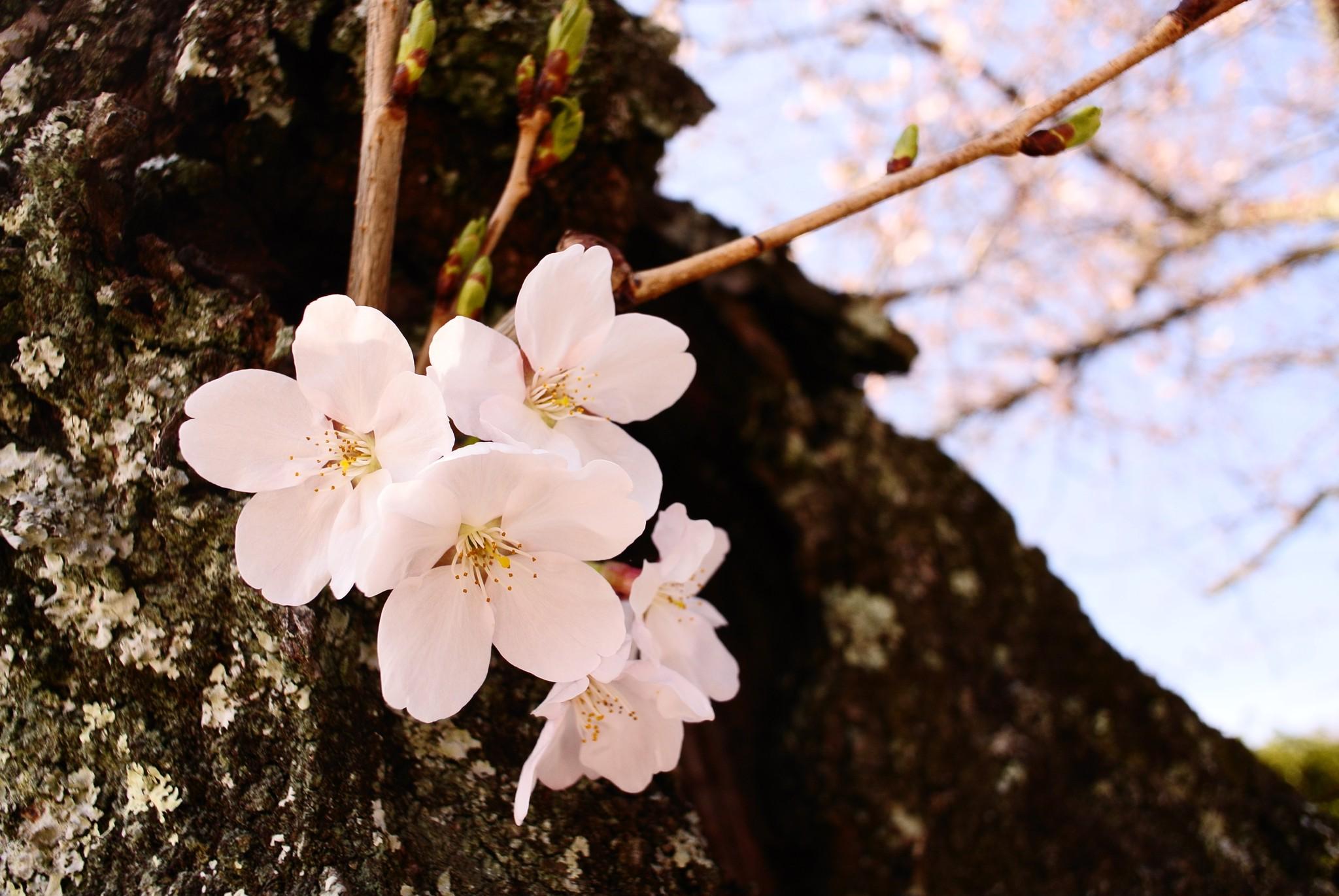 工房の近くの樹にも桜が咲き始めました!