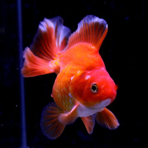 人気の薩摩金魚が1点もの入荷!