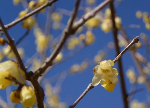 ロウバイと桜 / シシリー ダイアリー