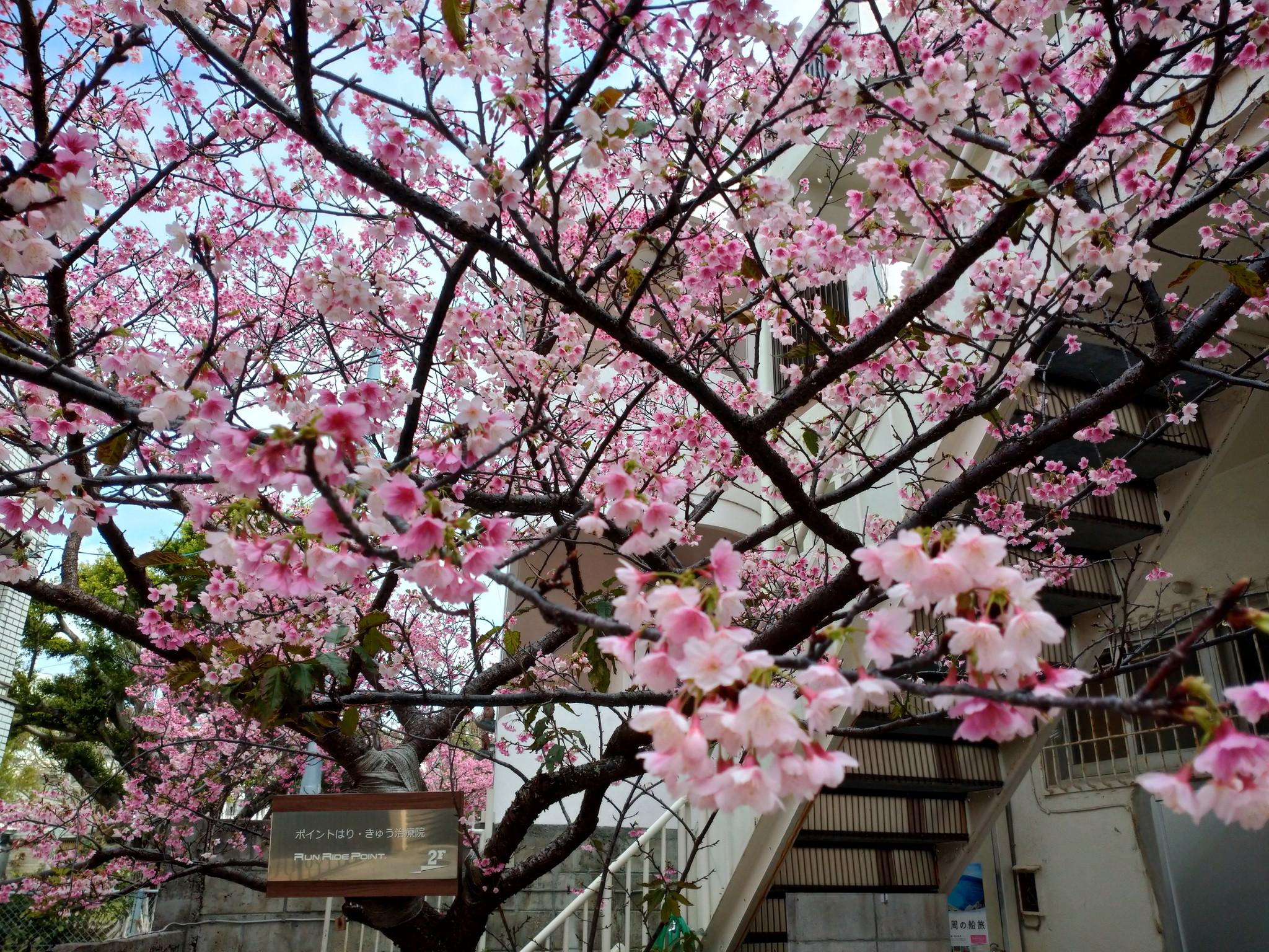 沖縄は桜が見頃です