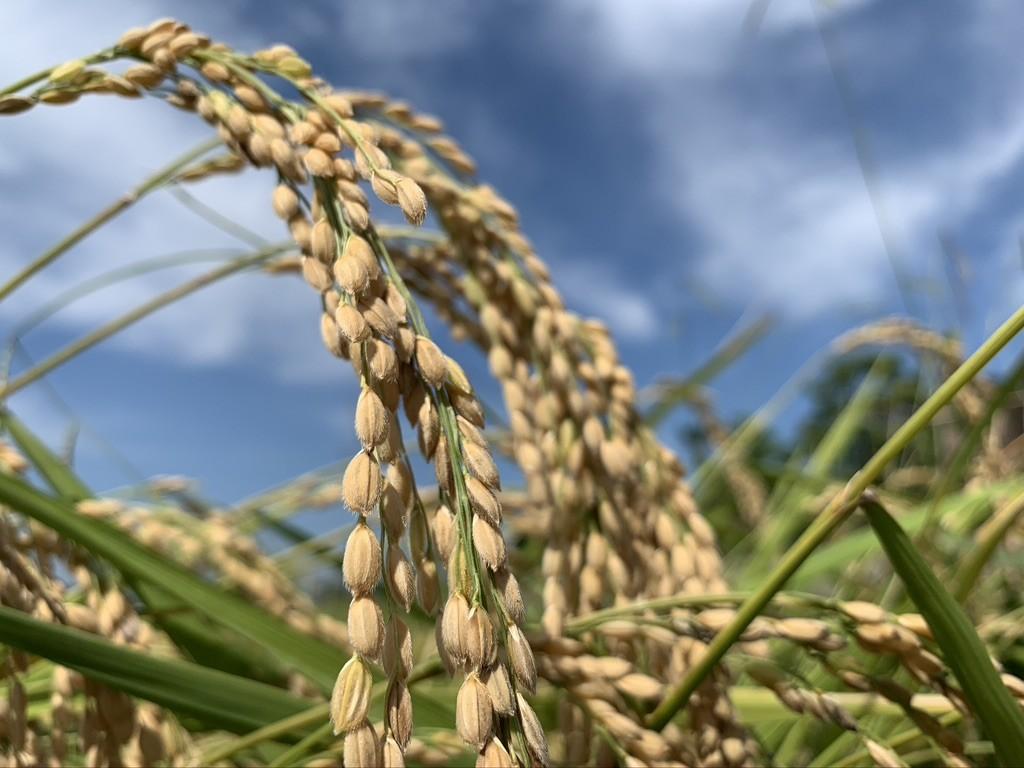 新米豊作!地域との結びつきが、おいしい米作りの秘訣。