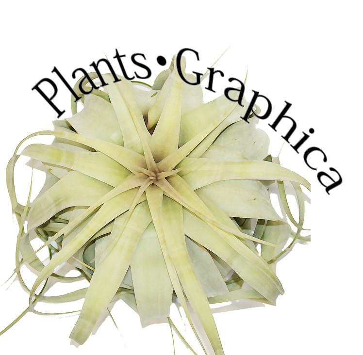 プランツ・グラフィカ  エアープランツ&植物となにか