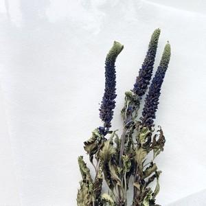 【花単種】ベロニカ