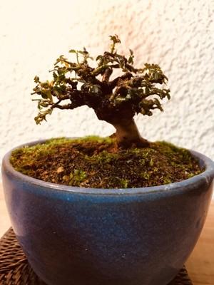 屋久島バラ 豆盆栽