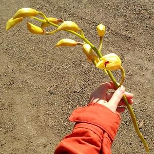 ■お正月飾りにも♪切り花・ハッピーゴールド1箱■
