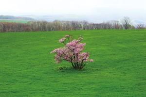 ポストカード 崎守町の一本桜 全景