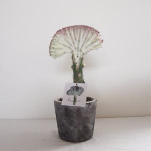 [ユーフォルビア]ラクティア セメント風の陶器の鉢セット