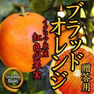 愛媛県西宇和産「タロッコ(ブラッドオレンジ)」3kg箱 (ご贈答用)