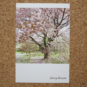 春のお散歩風景ポスカ【cherry blossom】