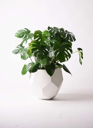 観葉植物 モンステラ 8号 ボサ造り ポリゴヘクサ 白 付き
