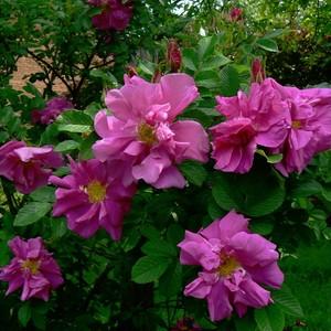 ロザリ ドライ Roseraie de l'Hay(Rosa rugosa 'Roseraie de l'Hay')
