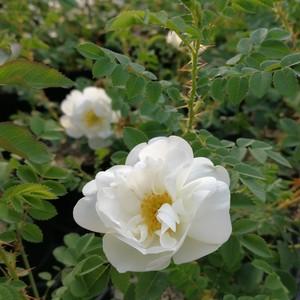 ロサ・ピンピネリフォーリア・ダブル・ホワイト Rosa pimpinellifolia double white