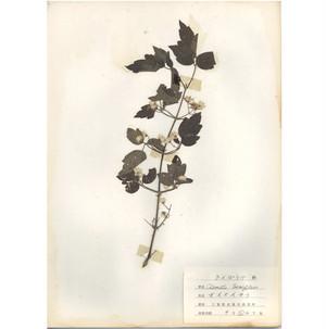日本の古い植物標本 006