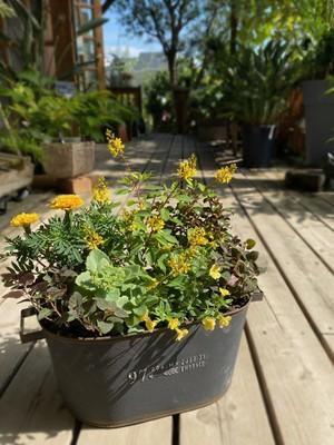 【寄せ植え】黄花たちの秋の装い