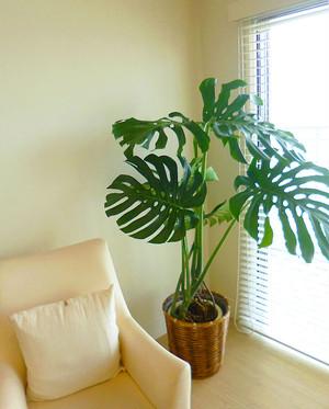 I0154) 新築祝観葉植物 モンステラ Lサイズ