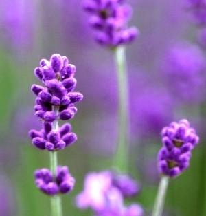lavender calm oil   ラベンダー カームオイル 20ml