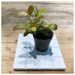 テラリウム用ミニ観葉植物 フィットニア丸葉黄金系