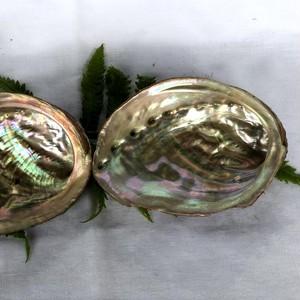 アワビの殻(中)