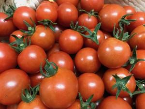 有機ミニトマト1.8kg