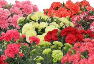 母の日♪ アフロプレミアム福袋(鉢花)