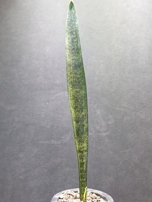 Sansevieria sp. Specks 514  (Yaoende Cameroun) サンスベリア sp.