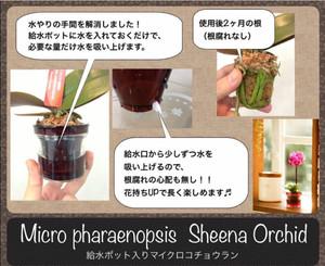 マイクロ胡蝶蘭2.5号アクアポット(椎名洋ラン園)