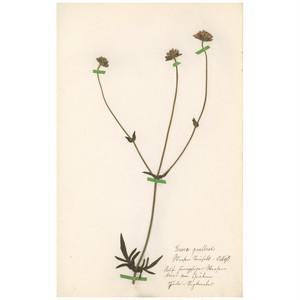 ドイツの古い植物標本 044