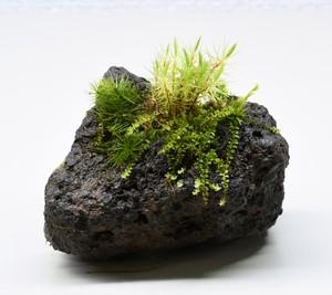 苔むす溶岩石着生「苔石」24