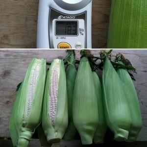 白いトウモロコシ10-13本