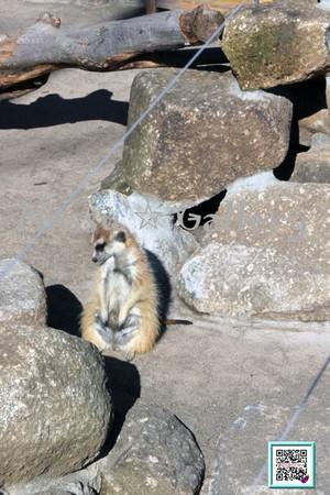 しょんぼりミーアキャット~Meerkats you are depressed~
