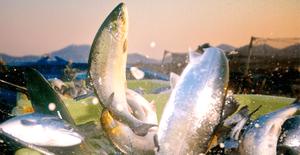 (0043)冷凍 日本初ASC認証国産サーモン『銀王』トリムE(骨取り・皮なし)1枚(約700g前後)