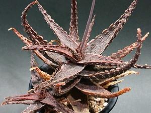 Aloe rauhii Drian flake Hyb アロエ ラウヒー ドリアンフレーク 交配種 (B)