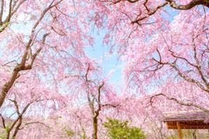 写真を壁に飾るウォールデコ 桜