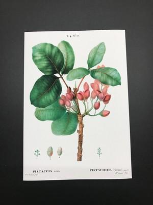 ボタニカルイラストレーション/ピスタチオ/レプリカ