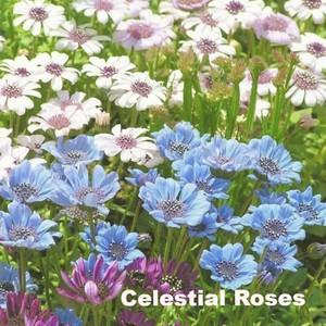 フェリシア 'スプリングメルヘン' Felicia heterophylla'Spring Merchen'