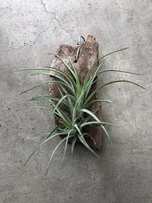 [Tillandsia]送料無料 Tillandsia Victoria  (T. ionantha X T. brachycaulos) ビクトリア イオナンタ・ブラキカウロス ハイブリッド T-14