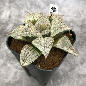 Haworthia ピクタ 剛力実生 ハオルチア