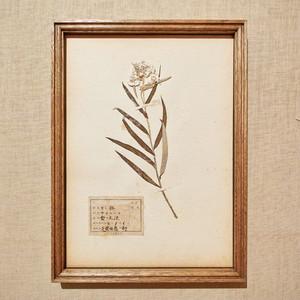 植物標本 フレーム 1929 vintage 18MAR-VSH05