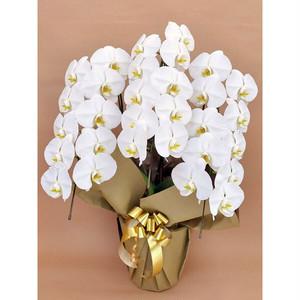 ※店舗からお届けエリア限定 胡蝶蘭鉢大輪3本立ち 白 札(大)は上付き 【お祝い花】