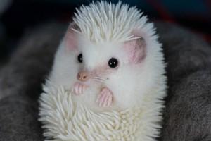 Curled White Hedgehog