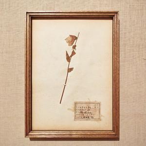 植物標本 フレーム 1929 vintage 18MAR-VSH13