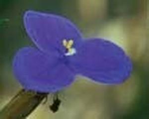 ブッシュアイリス[Bush Iris]