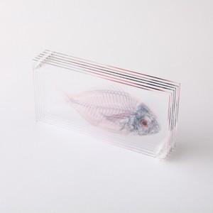 3D透明標本 真鯛 ネジ F01