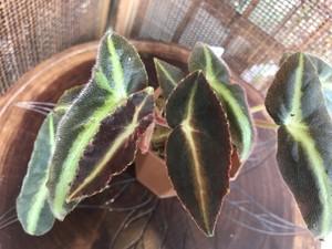Begonia.sp.listada