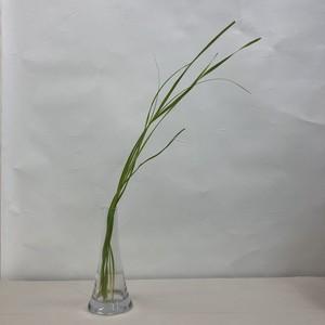 【お花と花瓶】ティティリカ・バタタ